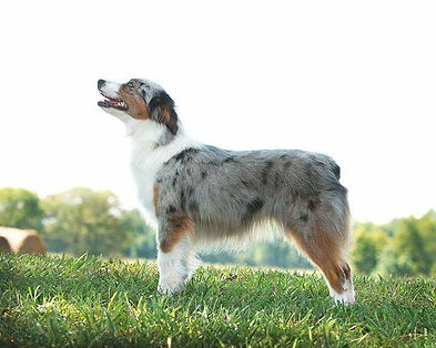 Blue merle toy aussie female with two blue eyes