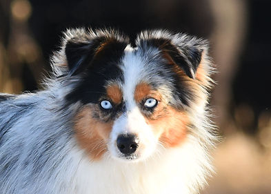 Blue merle toy aussie male with two blue eyes