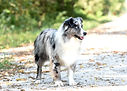 Blue merle mini aussie male with two blue eyes