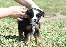 Blue Eyed Black Tri Tiny Toy Aussie