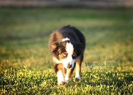 toy aussie for sale