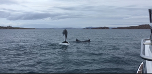 Dolphin in the Sound of Iona