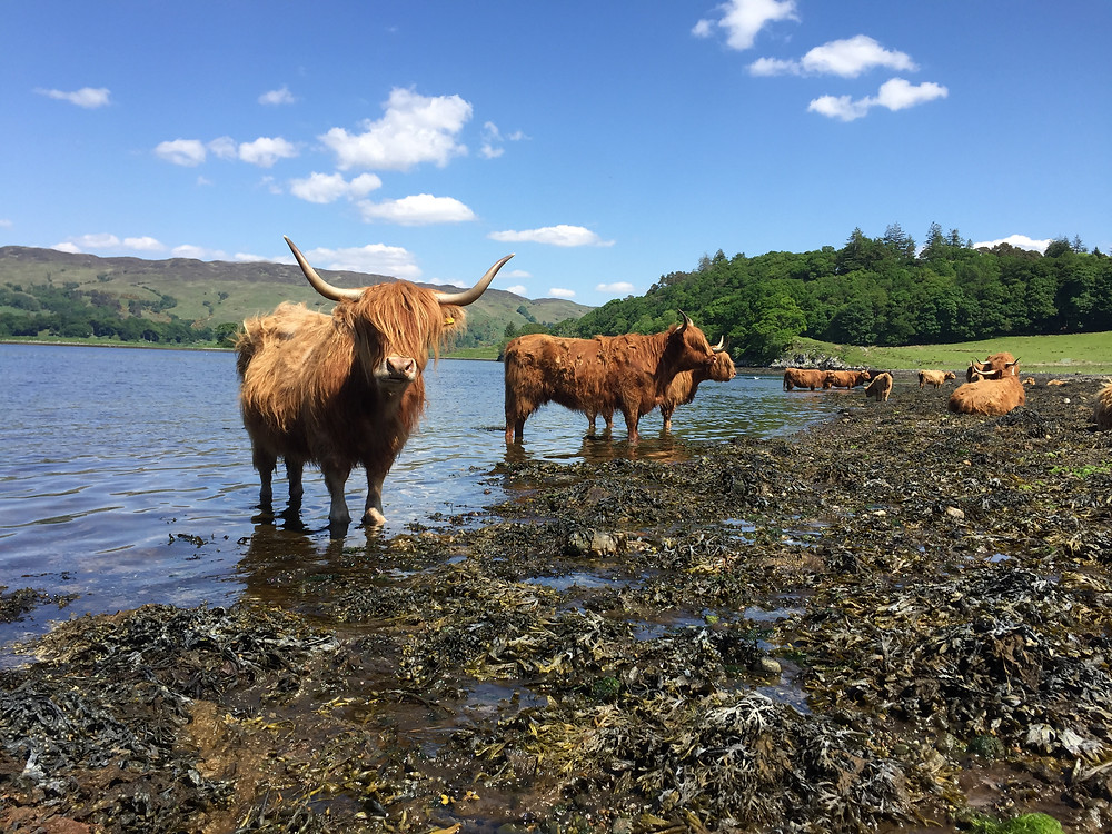 Hairy coos cooling off in Loch Etive