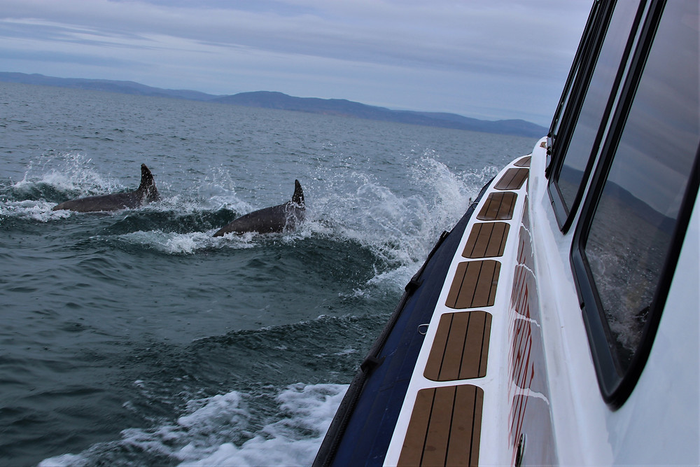 Dolphins playing in the bow wave.