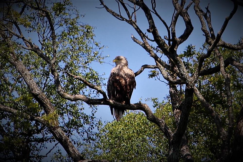 ...big bird on the shores of Morvern
