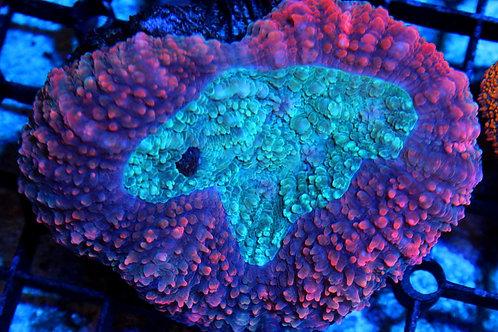 Purple/Teal Carpet Lobophyllia