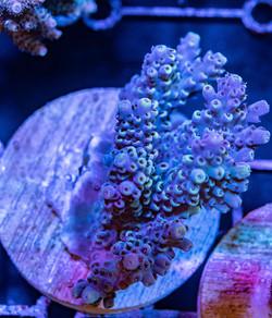 Cuttlefish 2020790032220.JPG