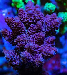 Cuttlefish 2020631021320.JPG