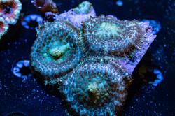 Cuttlefish 2020817032220.JPG