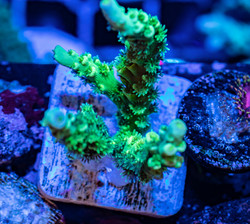 Cuttlefish 2020776032220.JPG