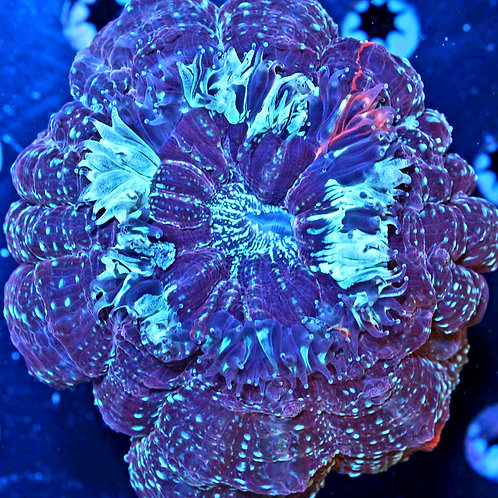 Maroon with Blue Acanthophyllia
