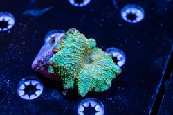 Cuttlefish 2020804032220.JPG