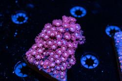 Cuttlefish 2020807032220.JPG