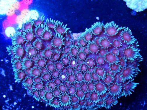 Purple/Blue Goniopora