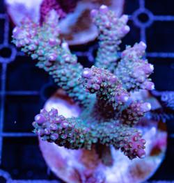 Cuttlefish 2020791032220.JPG