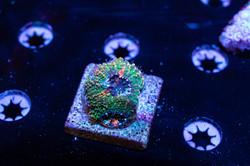Cuttlefish 2020811032220.JPG
