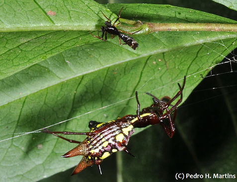 Micrathena spinosa, male (top) and female (bottom), from Brazil. Photo by Pedro H. Martins.