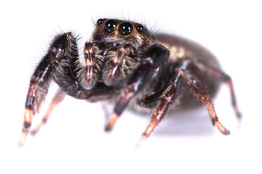 Female jumping spider from Corrientes, Argentina.