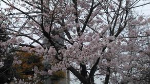 桜が見頃になっています