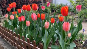 サロンのチューリップ開花!🌷
