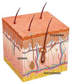 layers of skin.jpg