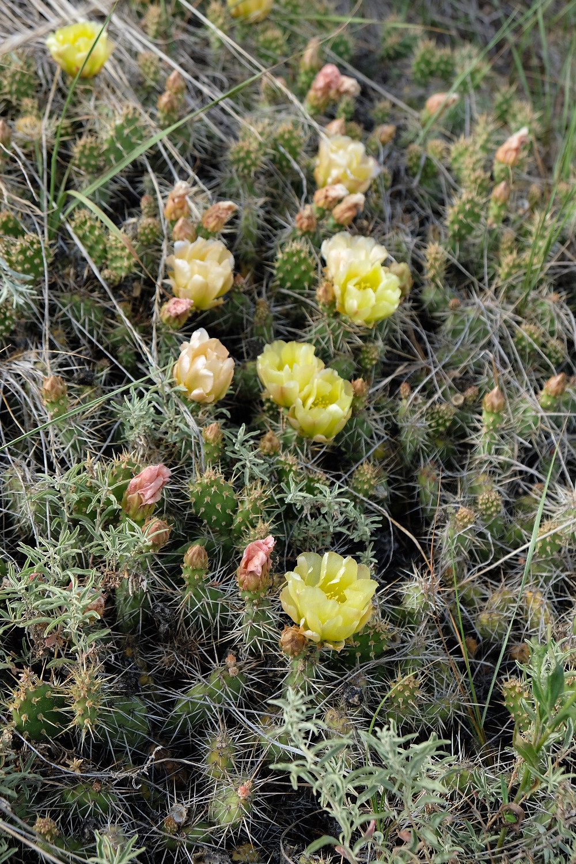 cactus-alberta