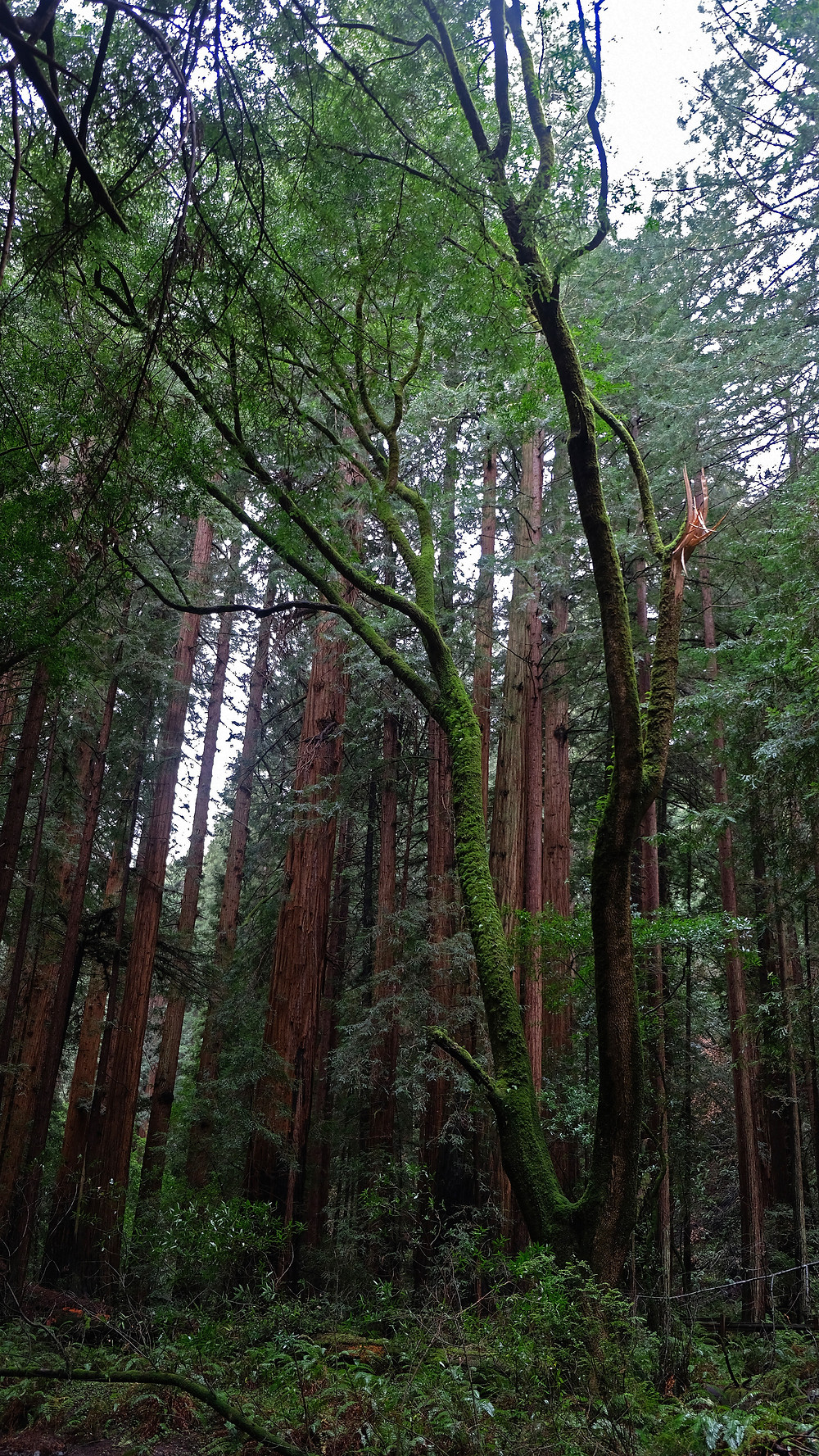 hiking-muir-woods