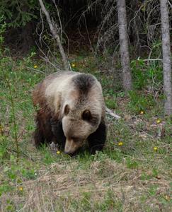 bears-jasper-alberta