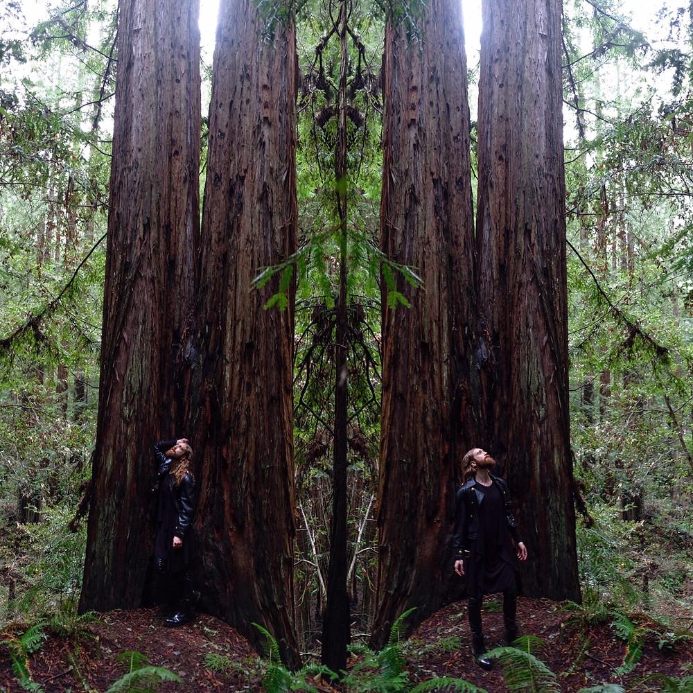 red-wood-tree