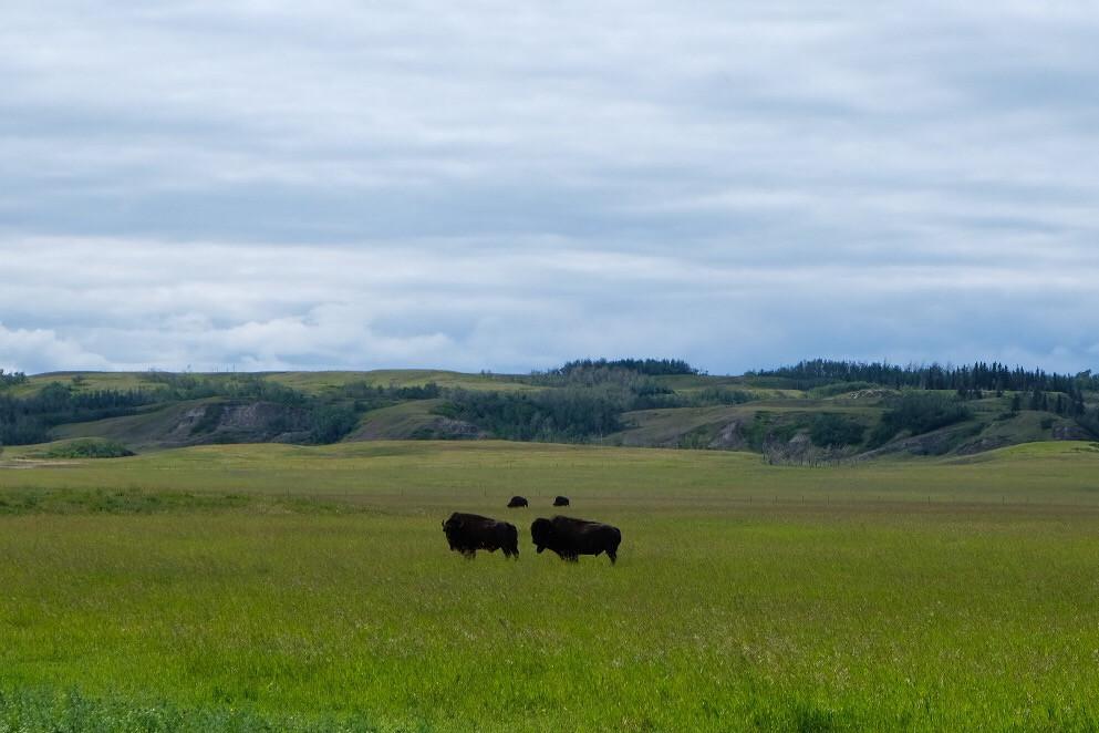bison-alberta