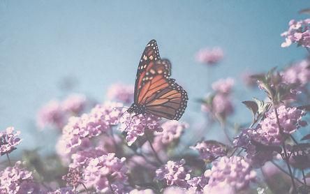Monarch butterfly sitting on a flower_ed
