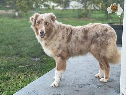 Minx - Aussie Shepherd.jpeg