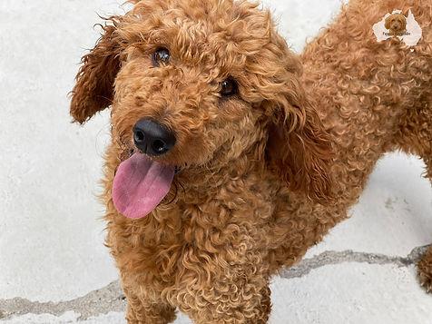Ben - Medium Poodle.jpg