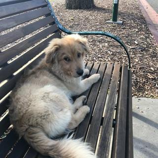 Aussiedoodle Puppy