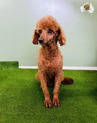 Stan- Mini poodle.jpg