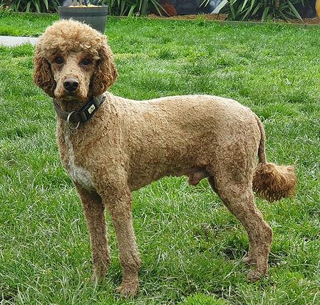 Raphael - Mini Poodle.jpeg