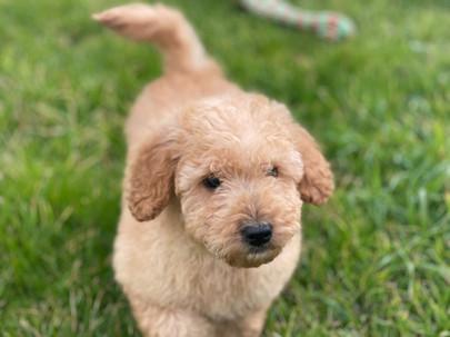 Male Mini Labradoodle Puppy