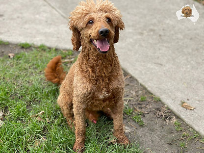 Simply Red - Labradoodle Sire