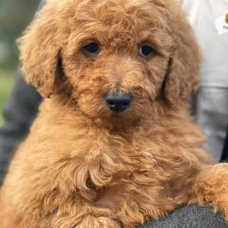 Labragroodle Puppy