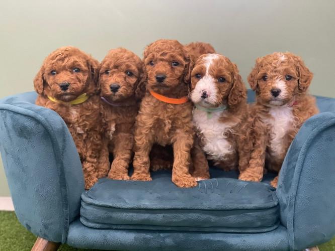 Mini Labradoodle Puppies