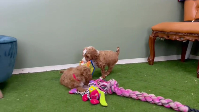 Labradoodle Puppies Playing.mp4