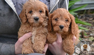 Cavoodle Puppies