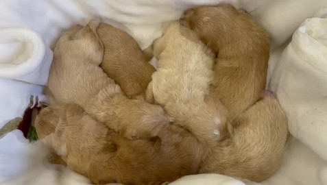 April and Stan's Groodle puppies