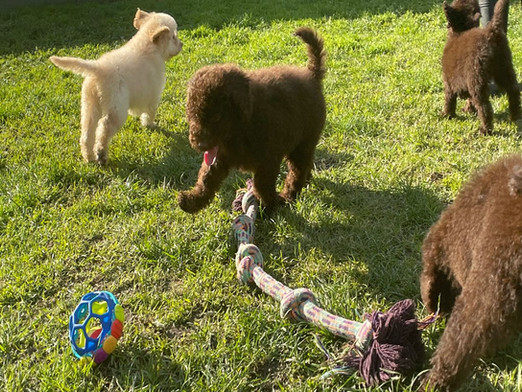 Labragroodle Puppies