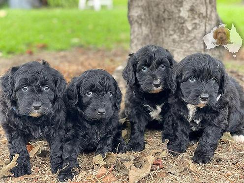 Bordoodle Puppies.jpeg