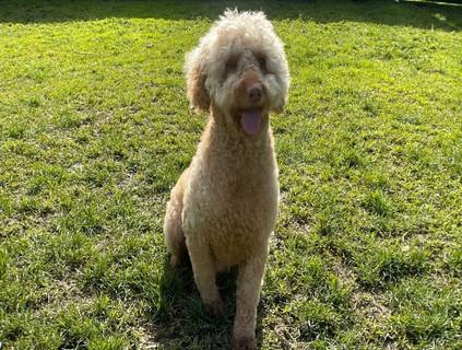 Roger - Medium Poodle