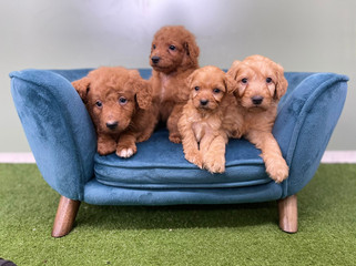 Groodle Puppies