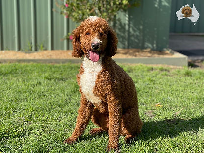 Red Dog - Labradoodle Sire