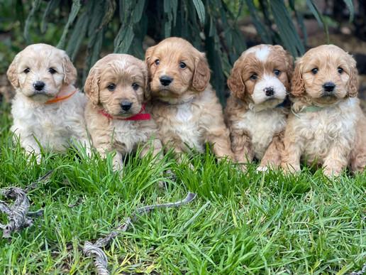 Spoodle Puppies