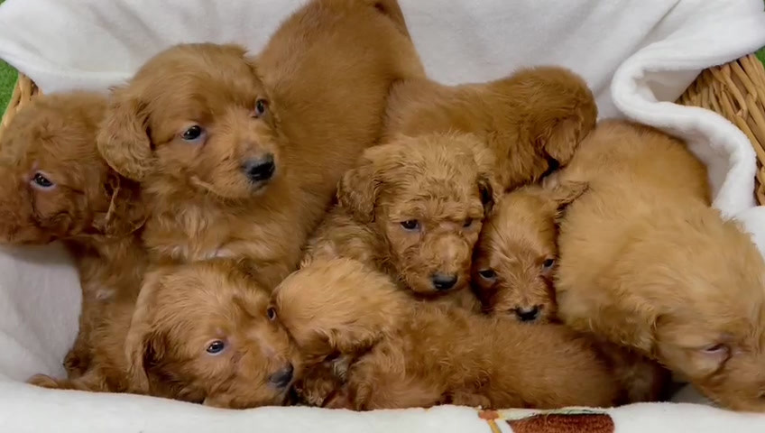 Simply Red and Lola's Puppies